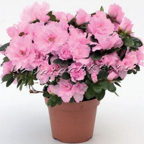 доставка цветов Москва, цветы Москва, купить цветы в Москве, цветы недорого Москва, заказать цветы Москва, цветы, Москва, доставка, азалия, горшечное растения