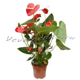 доставка цветов Москва, цветы Москва, купить цветы в Москве, цветы недорого Москва, заказать цветы Москва, цветы, Москва, доставка, антуриум