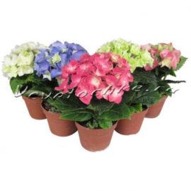 доставка цветов Москва, цветы Москва, купить цветы в Москве, цветы недорого Москва, заказать цветы Москва, цветы, Москва, доставка, гидрангея, горшечные растения