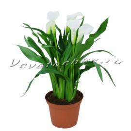 доставка цветов Москва, цветы Москва, купить цветы в Москве, цветы недорого Москва, заказать цветы Москва, цветы, Москва, доставка, калла, калла горшечная, горшечные растения