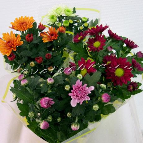 доставка цветов Москва, цветы Москва, купить цветы в Москве, цветы недорого Москва, заказать цветы Москва, цветы, Москва, доставка, хризантема, хризантема кустовая, хризантема кустовая горшечная