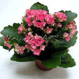 доставка цветов Москва, цветы Москва, купить цветы в Москве, цветы недорого Москва, заказать цветы Москва, цветы, Москва, доставка, каланхое, каланхое в горшке