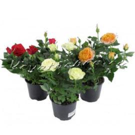 доставка цветов Москва, цветы Москва, купить цветы в Москве, цветы недорого Москва, заказать цветы Москва, цветы, Москва, доставка, роза, роза горшечная, горшечные растения