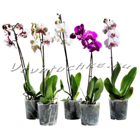 доставка цветов Москва, цветы Москва, купить цветы в Москве, цветы недорого Москва, заказать цветы Москва, цветы, Москва, доставка, орхидея фаленопсис одноствольная, орхидея фаленопсис, орхидея, фаленопсис