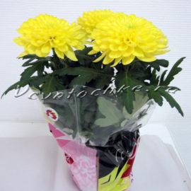 доставка цветов Москва, цветы Москва, купить цветы в Москве, цветы недорого Москва, заказать цветы Москва, цветы, Москва, доставка, хризантема одноголовая горшечная, хризантема одноголовая