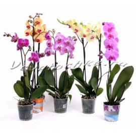 доставка цветов Москва, цветы Москва, купить цветы в Москве, цветы недорого Москва, заказать цветы Москва, цветы, Москва, доставка, горшерные растения, цветы в горшке, фаленопсис, орхидея, орхидея в горшке, орхидея фаленопсис двухствольная
