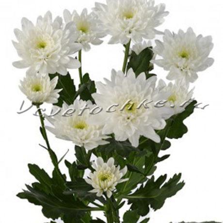 доставка цветов Москва, цветы Москва, купить цветы в Москве, цветы недорого Москва, заказать цветы Москва, цветы, Москва, доставка, хризантема, кустовая хризантема, белая хризантема, балтика, хризантема балтика