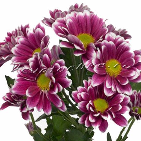 доставка цветов Москва, цветы Москва, купить цветы в Москве, цветы недорого Москва, заказать цветы Москва, цветы, Москва, доставка, хризантема, кустовая хризантема, сиреневая хризантема